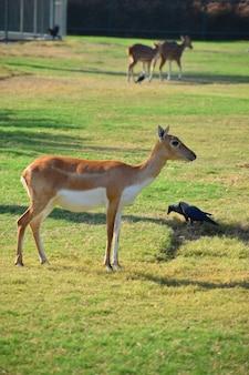 Een prachtige zwartkopantilope