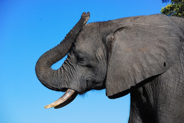 Een profiel van een olifantenkop