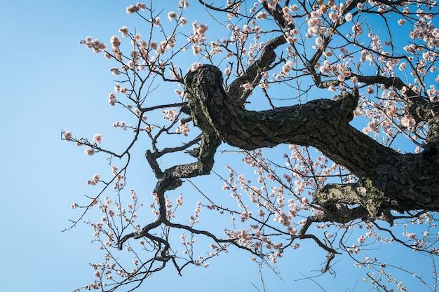Een pruimenboom die eruit ziet als een draak
