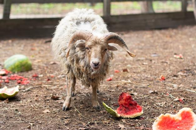 Een ram met gedraaide horens. schapen huid. gehoornd dier