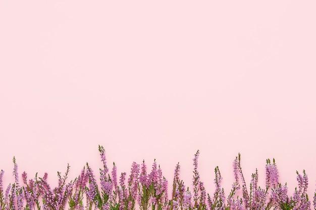 Een rand van pink common heather bloemen op een roze achtergrond. kopieer ruimte, bovenaanzicht. plat leggen