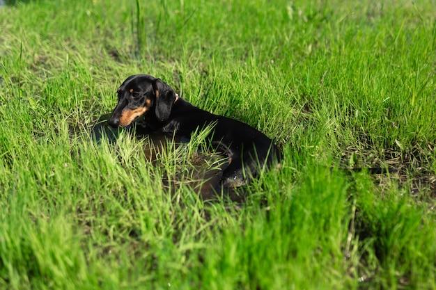 Een rashond ligt in het water omgeven door groen gras