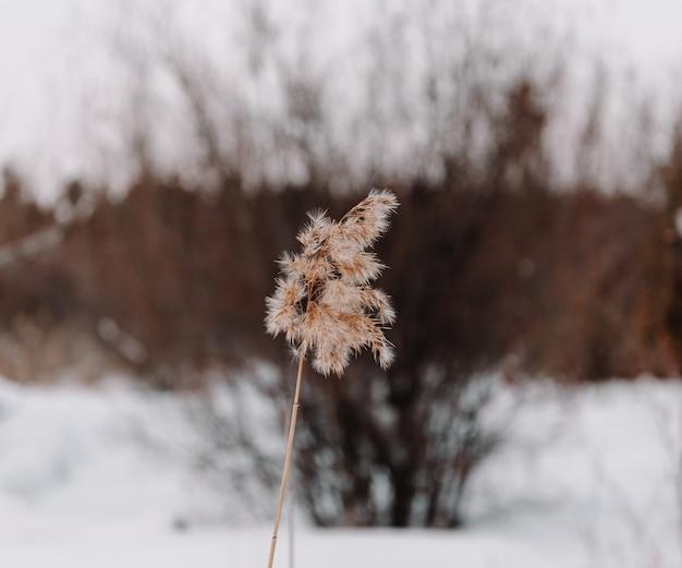 Een riet in het winterbos