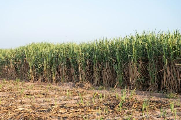 Een rij van suikerrietinstallatie bij zonsopgang
