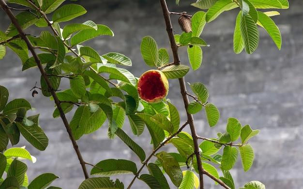 Een rijpe guavefruit op boom die door vogels wordt gegeten, in ondiepe focus