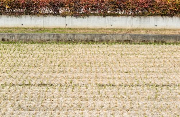 Een rijstveld na de oogst