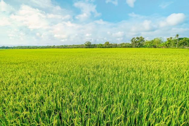 Een rijstveld