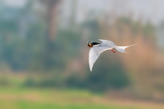 Een rivierstern die met vissenvangst vliegt