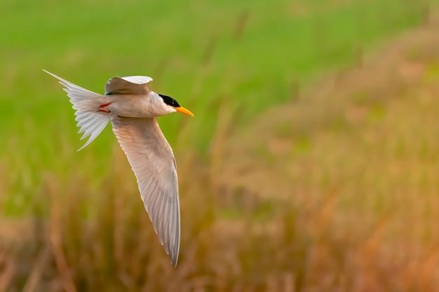Een rivierstern die over een grasgebied vliegt
