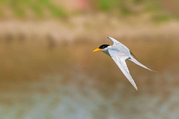 Een rivierstern die over een rivier vliegt