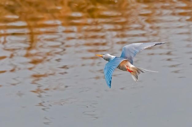 Een rivierstern die zijn hoofd draait tijdens vlucht