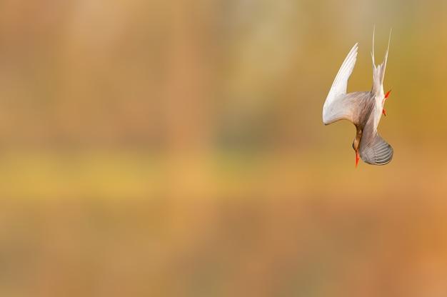 Een rivierstern duikt in de lucht