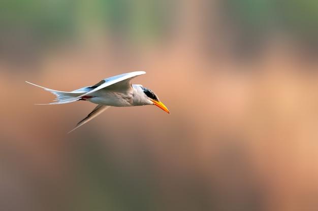 Een rivierstern vliegt tegen een vlot