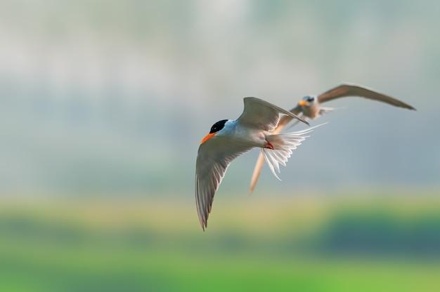 Een rivierstern vliegt terwijl de andere hem volgt