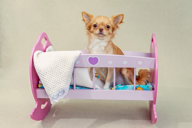 Een rode chihuahuahond zit in een roze stuk speelgoed bed.