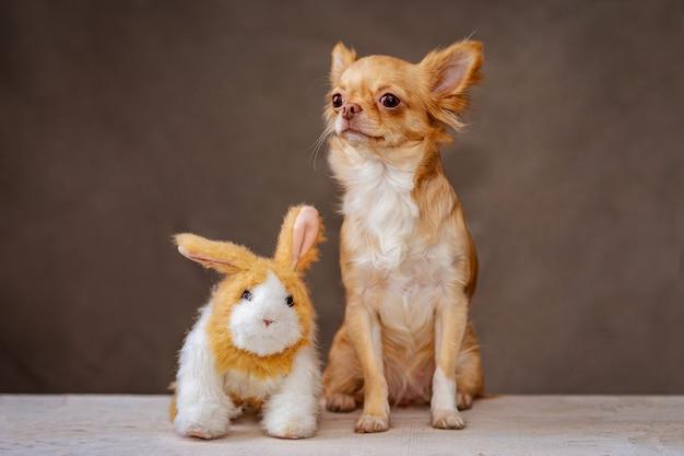 Een rode hond chihuahua en een pluizig stuk speelgoed konijn zitten zij aan zij