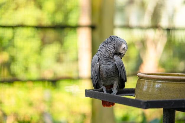 Een rode jako van een grijze papegaai maakt veren schoon bij een voedertrog. psittacus erithacus.