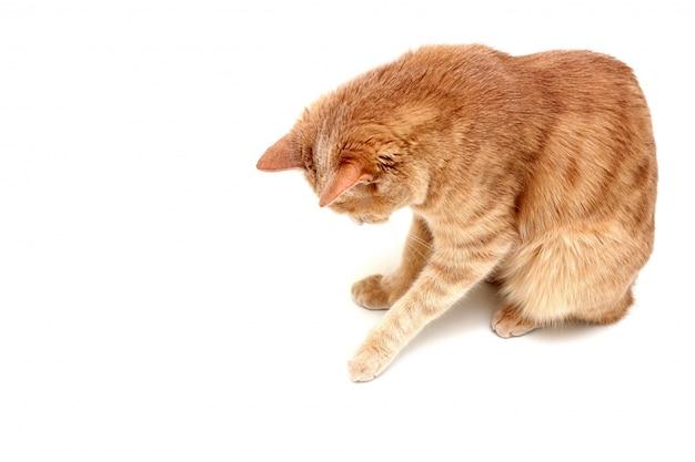 Een rode kat geïsoleerd op een wit oppervlak kijkt naar beneden en raakt iets aan met zijn poot.