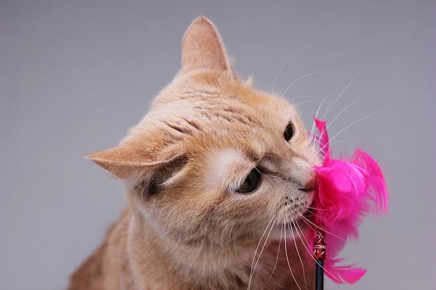 Een rode kat knabbelt aan een kattenspeelgoed met roze veren. grappige spelende huisdieren.