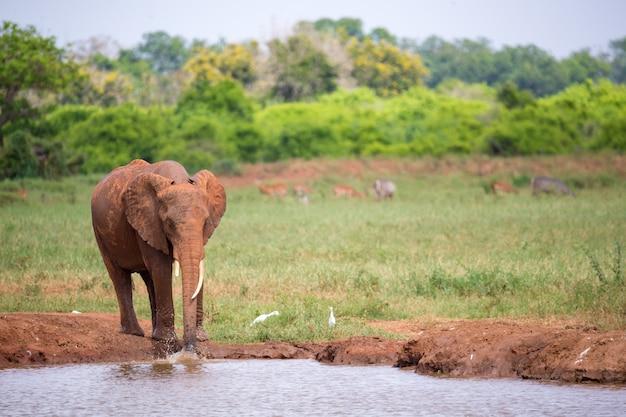 Een rode olifant drinkt water op de drinkplaats