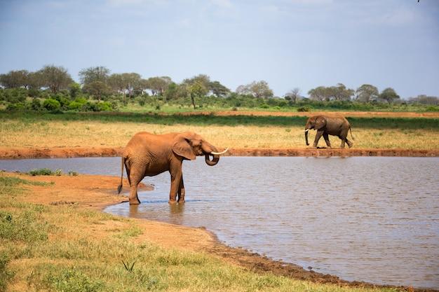 Een rode olifant drinkt water uit een waterpoel
