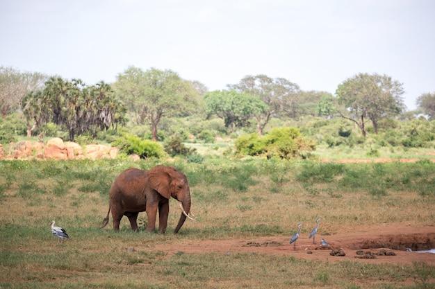 Een rode olifant loopt in de savanne van kenia