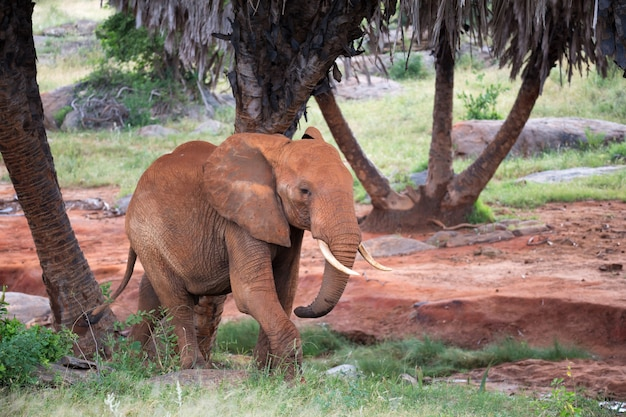 Een rode olifant loopt tussen de palmbomen en bomen