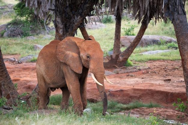 Een rode olifant loopt tussen de palmbomen