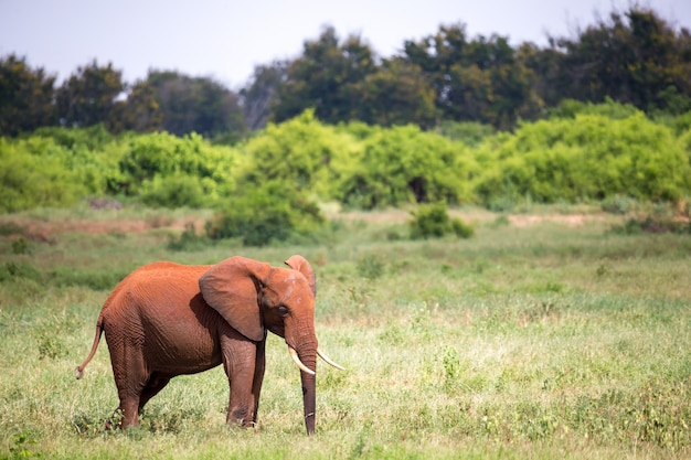 Een rode olifant staat in het grasland