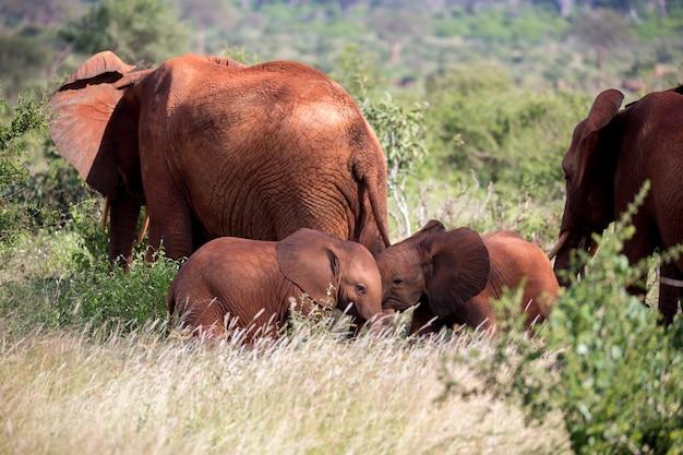 Een rode olifantenfamilie loopt tussen de struik