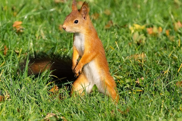 Een rode pluizige eekhoorn staat op zijn achterpoten op het groene sappige jonge gras met gele herfstbladeren en kijkt naar de zijkant bij zonnig licht weer, close-up. wild dier portret