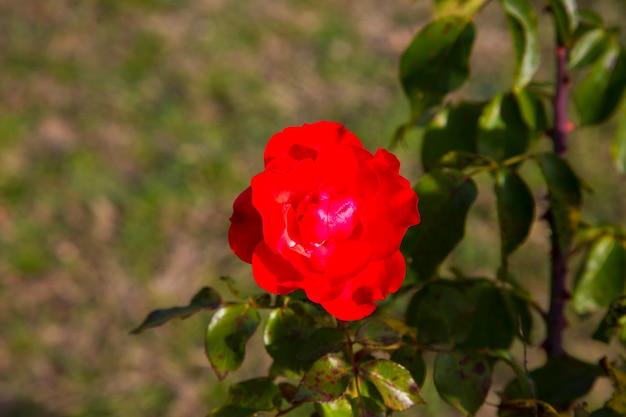 Een rode roos bloeit in de rozentuin. plaats voor tekst bloemen natuurlijke achtergrond