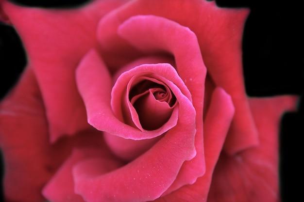 Een rode roos close-up