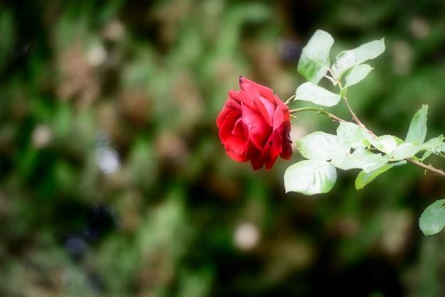 Een rode roos op het moment van prachtige bloei