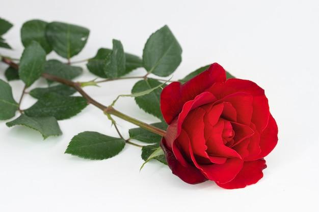 Een rode roos op witte achtergrond