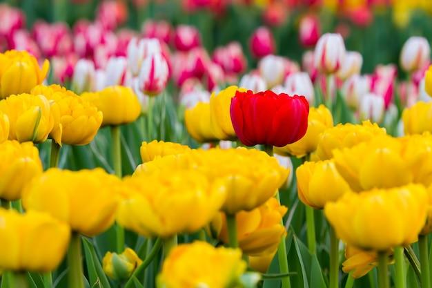 Een rode tulp tussen gele tulpen, op de achtergrond staan veel kleurrijke tulpen