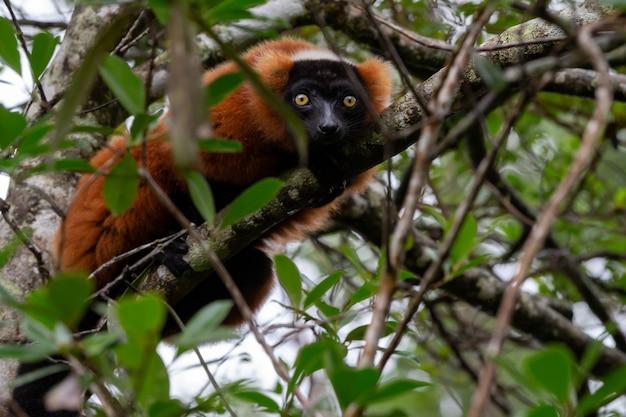 Een rode vari lemur zit op een tak van een boom