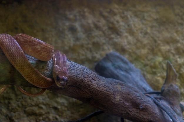 Een roodbuikslang in een kooi in de dierentuin