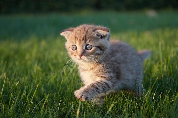 Een roodharig katje zit, rent en speelt in het groene, sappige gras, kijkt opzij en beweegt zijn poot