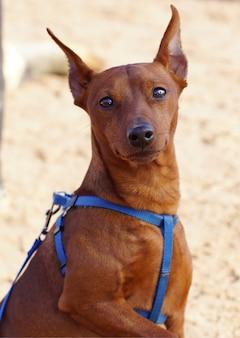 Een roodharige hondenras zwergpinscher onderzoekt de camera