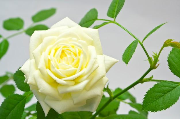 Een roos bovenaanzicht op geïsoleerd