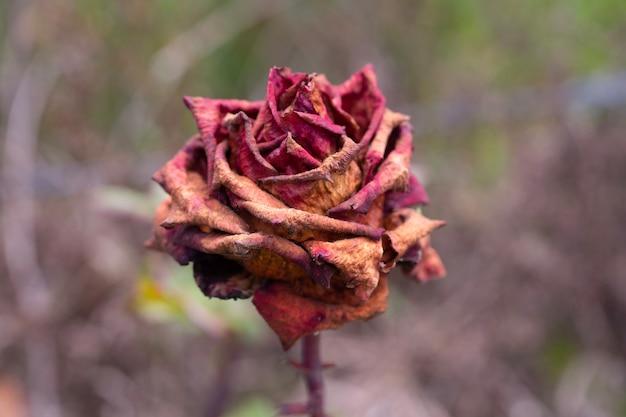 Een roos na de vorst