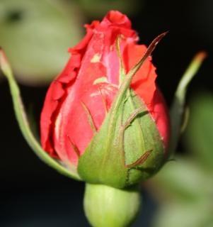 Een roos voor een roos
