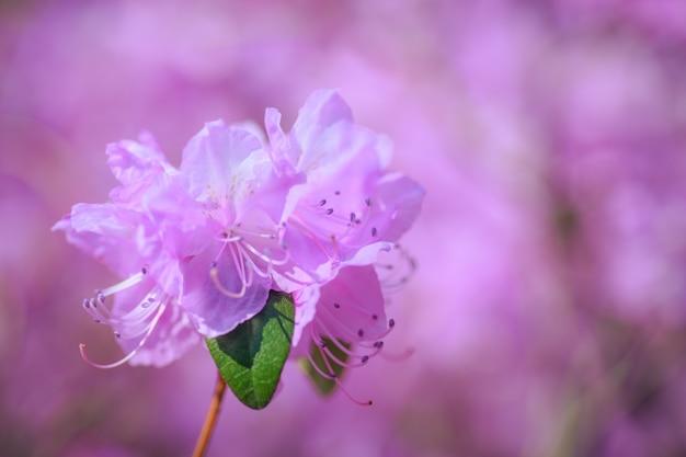 Een roze azalea bloem