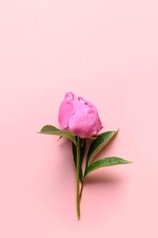 Een roze pioenroos bloemen op roze achtergrond.