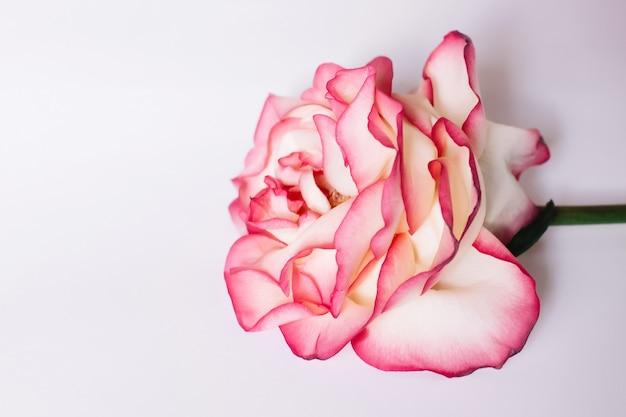 Een roze roos op een witte achtergrond