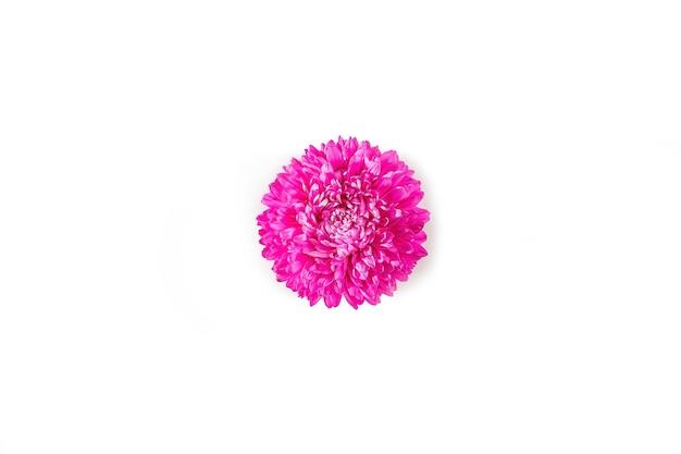 Een roze verse aster bloem geïsoleerd op een witte achtergrond. minimalisme. lente bloemen samenstelling. romantisch, valentijnsdag, dames, moederdag of huwelijksconcept. platliggend, bovenaanzicht, kopieerruimte