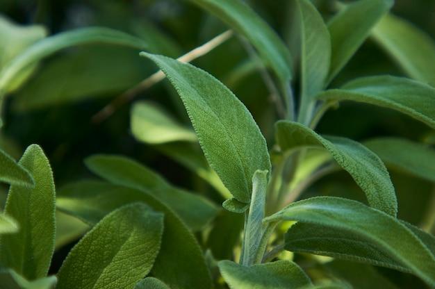 Een salvia salieblad uitvergroten, een plant die als specerij in de keuken wordt gebruikt.