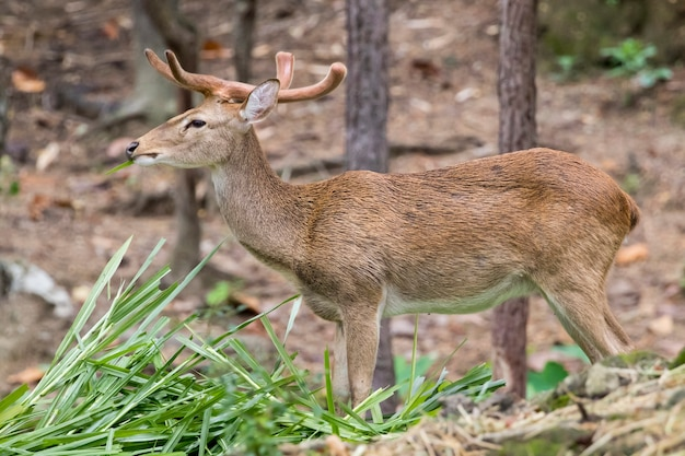 Een sambarhert dat gras in het bos kauwt.