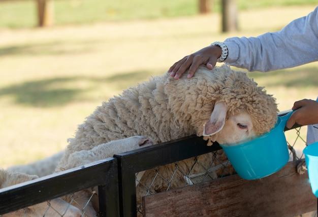 Een schaap eet voer en toeristen voeden het